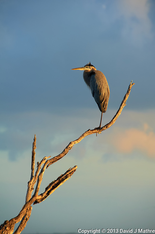 Great Blue Heron on One Leg in the Early Morning Sun. Bio Lab Road in Merritt Island National Wildlife Refuge. Image taken with a Nikon D700 and 28-300 mm VR lens (ISO 200, 300 mm, f/9, 1/320 sec). (David J Mathre)