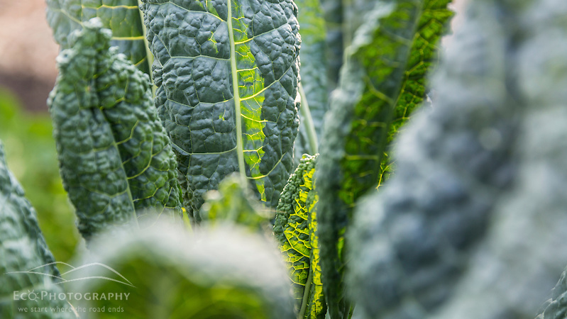 Kale growing at the Garrison-Trotter Farm in the Dorchester neighborhood of Boston, Massachusetts. (Jerry and Marcy Monkman)