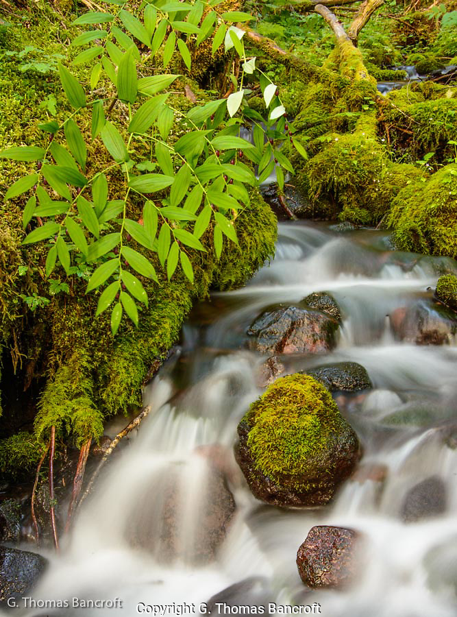 The twisted stalk hung over the small creek, its purple fruits glistening in the soft light of the forest interior.  All the exposed surfaces not with flowing water were covered in a lush network of moss. (G. Thomas Bancroft)