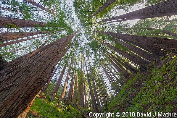 Wide Angle Looking up from a Coastal Redwood Forest. Image taken with a Nikon D3x and 14-24 mm f/2.8 lens (ISO 100, 14 mm, f/16, 2.5 sec). Raw image converted using Adobe Camera Raw 6.2 (landscape and used lens correction). HDR of 5 images (+2, +1, 0, -1, -2 EV) using Photoshop CS5 HDR Pro (photorealistic). (David J Mathre)