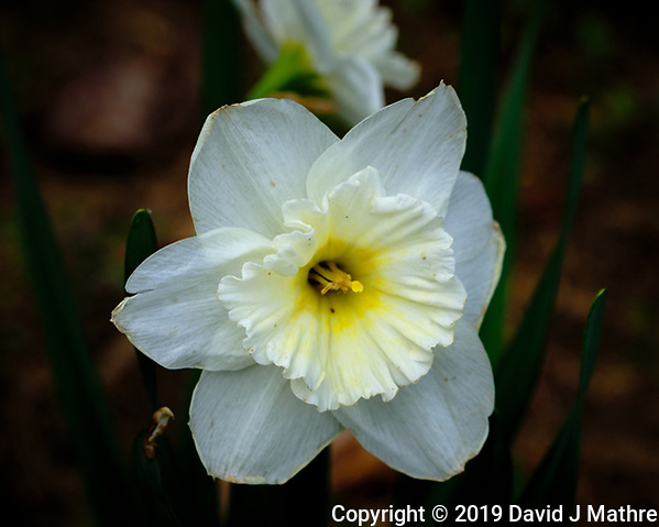 Daffodil Bloom. Image taken with a Fuji X-H1 camera and 80 mm f/2.8 macro lens (DAVID J MATHRE)