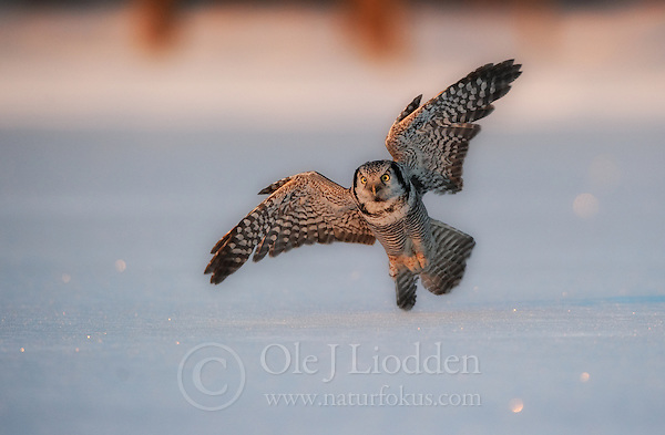 Hunting Northern Hawk owl in Norway (Ole Jørgen Liodden)