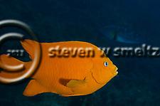 Garibaldi, Hypsypops rubicundus, Profile, Laguna Beach California (Steven W Smeltzer)