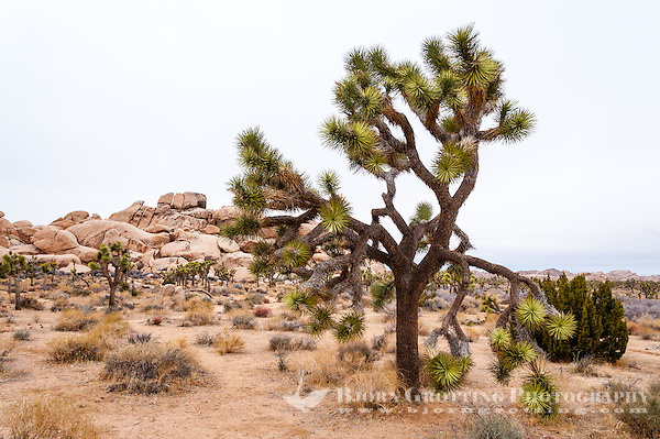 United States, California, Joshua Tree National Park. Hall of Horrors. Joshua trees. (Photo Bjorn Grotting)