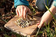 Gänseblümchen, Blätter und Blüten werden klein geschnitten, Bellis perennis, English Daisy, Pâquerette (Frank Hecker)