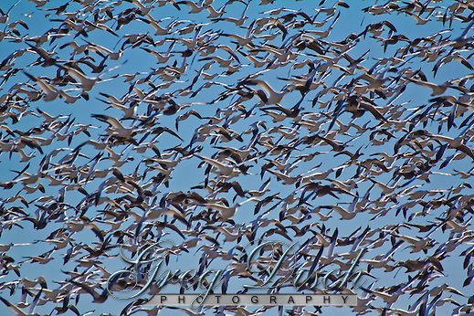 Snow geese populations reach about 20,000 in late November and early December at Sequoyah National Wildlife Rufuge nestled in gently rolling foothills of the Ozark Mountains. (Greg Disch)