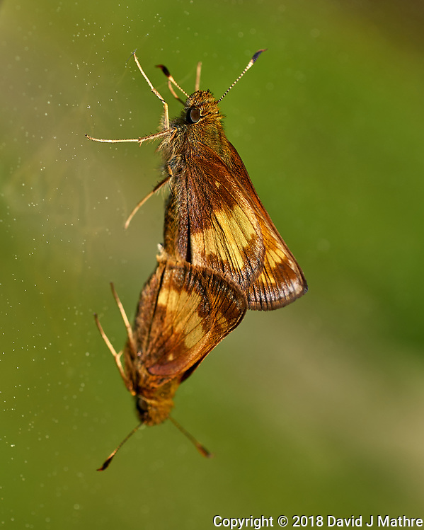 Moths Mating. Image taken with a Leica CL camera and 60 mm f/2.8 lens (David J Mathre)