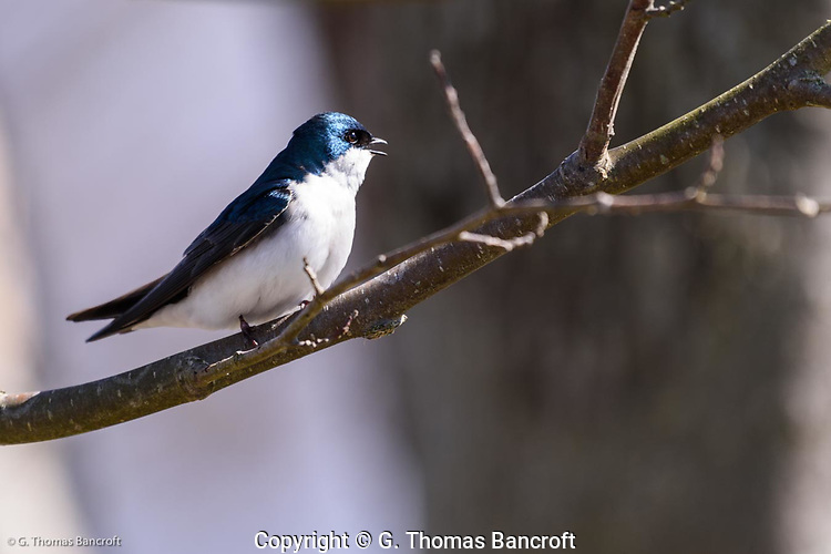 A tree swallow giving its high pitch song near a nest box along Wylie Slough in Skagit County, Washington. (G. Thomas Bancroft)