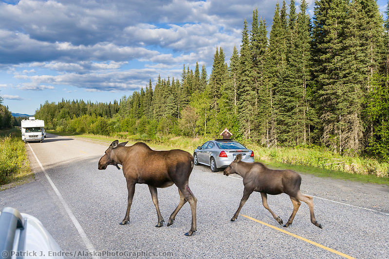 Moose photos: Tourists watch cow and calf moose cross the Chena Hot Springs road, interior, Alaska. (Patrick J. Endres / AlaskaPhotoGraphics.com)