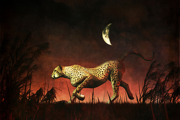 If you have never visited the continent of Africa, you can still appreciate this extraordinary image of a cheetah on the hunt. It is nighttime, wherever the cheetah might be in Africa, and it isn't difficult to imagine that it is also a very hot night. The cheetah doesn't seem to care much about the weather. It simply wants to catch its prey. It has clearly found something. It is very definitively on the move. Given what we know about cheetahs, we know this particular cheetah is almost certainly going to catch that prey soon. Available as t-shirts, wall art, or interior home décor products. (Jan Keteleer)