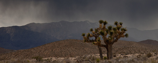 Joshua Tree under snow storm in Death Valley NP, CA (Thierry Carlier)