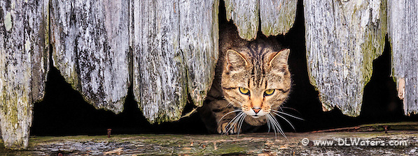 Stray cat coming out of a hole in the side of a barn in Avon on Hatteras Island, NC. (Daniel Waters)