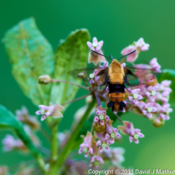 Snowberry Clearwing Moth at the Sourland Mountain Reserve. Image taken with a Nikon D3x and 500 mm f/4 VR lens (ISO 200, 500 mm, f/4, 1/160 sec). Raw image processed with Capture One Pro, Focus Magic, Nik Define, and Photoshop CS5. (David J Mathre)