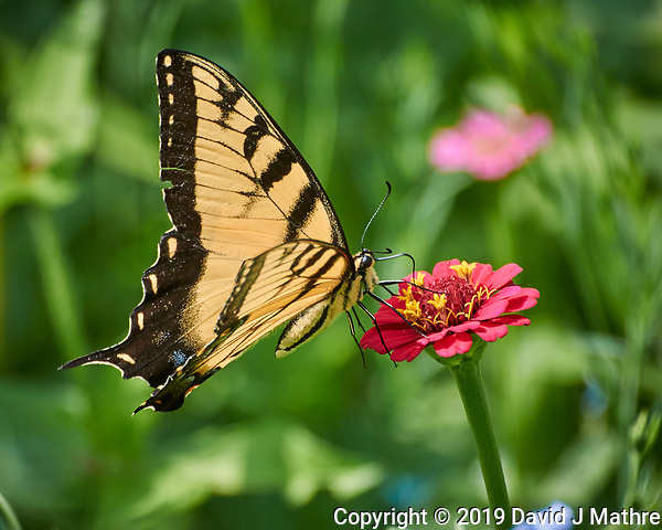 Tiger Swallowtail Butterfly on a Zinnia Flower. Image taken with a Nikon 1 V3 camera and 70-300 mm VR lens. (DAVID J MATHRE)