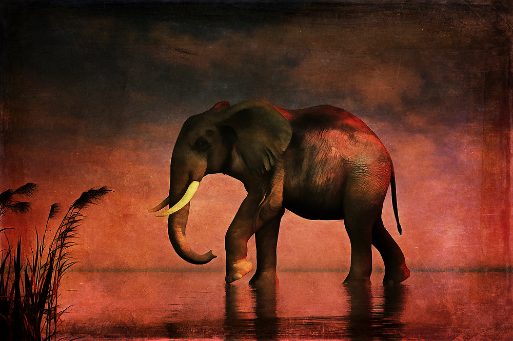 An elephant walks alone. It walks with gradual, grand purpose. It walks against a backdrop of stunning reds and other colors associated with the final moments of sunset. Perhaps, this elephant is walking because the late hour is drawing near. In hardly any time at all, the sky will pass into twilight. Will be the elephant get to where it is going before then? Or will it have to continue its long, weary journey under a blanket of stars. This stunning acryl on canvas piece is available as wall art, on t-shirts, or as a wide range of interior décor products. (Jan Keteleer)