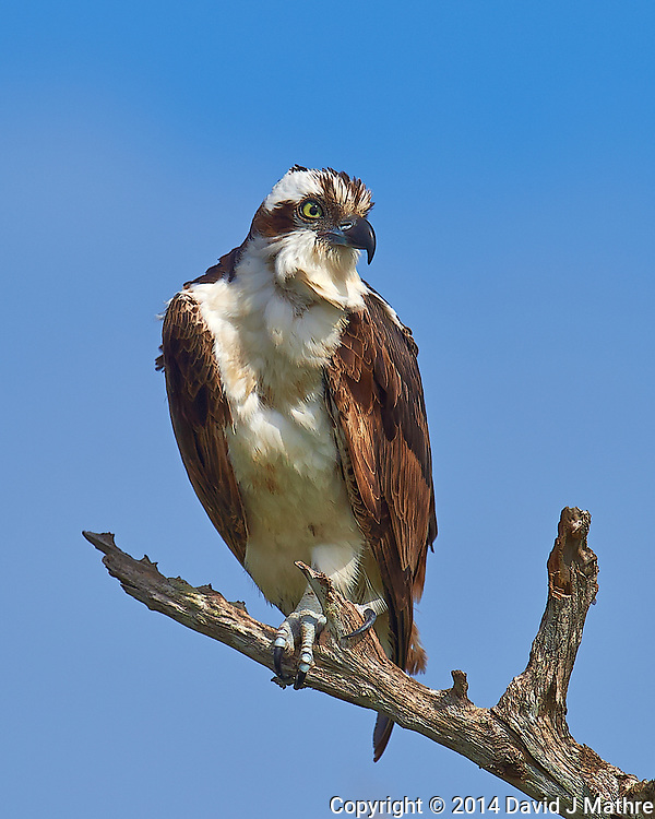 Morning Osprey Lookout at Merritt Island National Wildlife Refuge. Image taken with a Nikon D4 camera and 600 mm f/4 VR lens (ISO 140, 600 mm, f/8, 1/1250 sec) (David J Mathre)