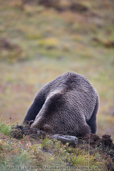 Grizzly bear digging for a ground squirrel in the tundra, Denali National Park, Alaska. (Patrick J Endres / AlaskaPhotoGraphics.com)