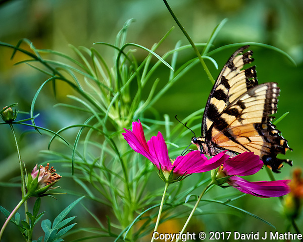 Tiger Swallowtail butterfly on a Cosmos flower in my wildflower meadow. Backyard summer nature in New Jersey. Image taken with a Fuji X-T2 camera and 100-400 mm OIS telephoto zoom lens (ISO 200, 400 mm, f/5.6, 1/125 sec). (© 2017 David J Mathre)