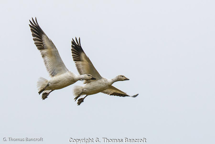 The Snow Geese pair spread their wings to begin to slow themselves down as they descended to land amongst other geese.  They dropped their feet and spread their toes to give additional drag.  When they touched the ground, it was as if they had gently stepped onto the grass; as graceful as an Olympic gymnast. (G. Thomas Bancroft)