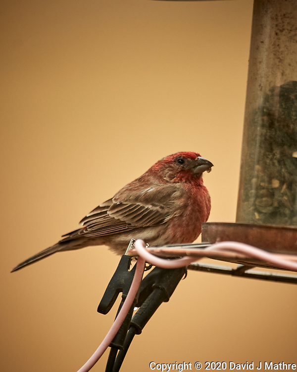 House Finch at a bird feeder. Image taken with a Nikon D5 camera and 600 mm f/4 VR lens (ISO 900, 600 mm, f/4, 1/1250 sec). (DAVID J MATHRE)