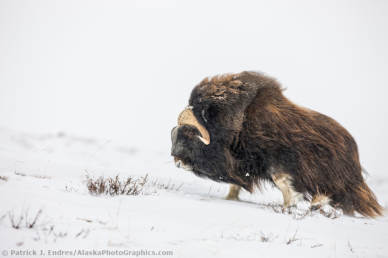 Bull muskox on the snow covered tundra of the arctic north slope, Alaska (Patrick J Endres / AlaskaPhotoGraphics.com)