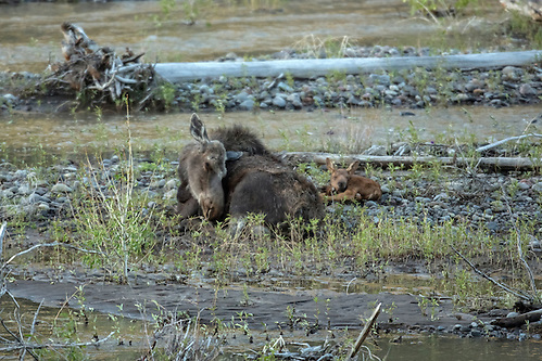 A moose and her calf bed down on their nearly submerged island in the Shoshone River. (Sandy Sisti)