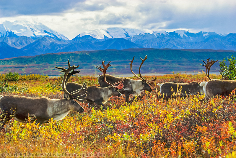 Barren ground caribou migrate over the autumn tundra in Denali National Park, Alaska (Patrick J. Endres / AlaskaPhotoGraphics.com)