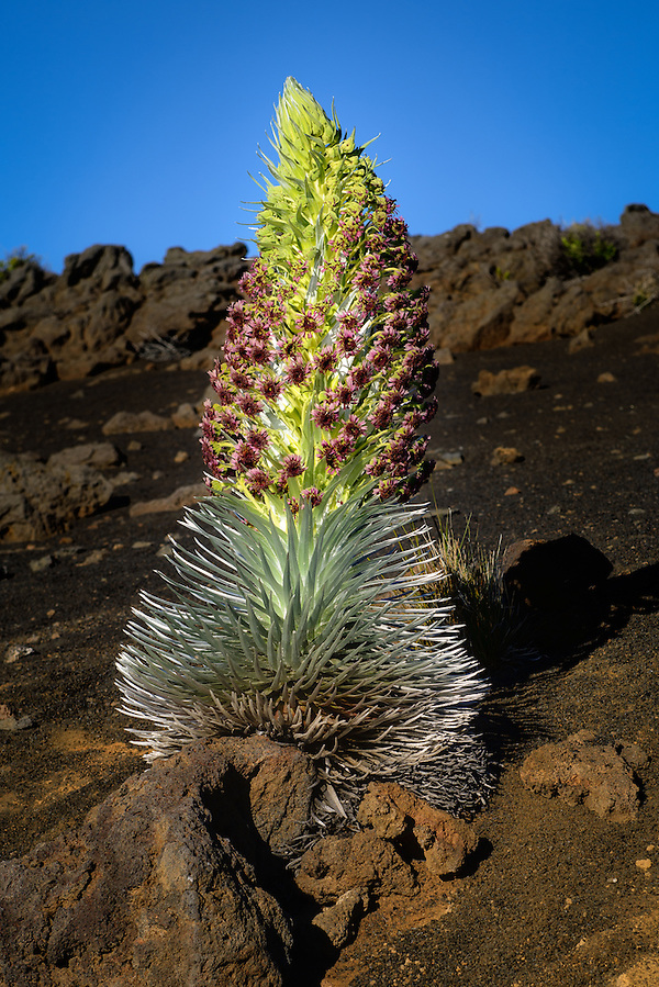 Silversword plant in Haleakala National Park, Mau'i - the only place in the world where this plant grows (Doug Oglesby)