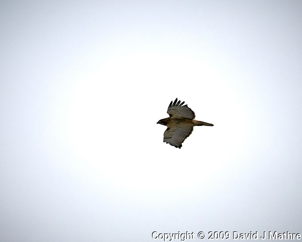 Red-tailed Hawk in flight at the Sourland Mountain Preserve. Image taken with a Nikon D300 camera and 18-200 mm VR lens (ISO 200, 200 mm, f/10, 1/400 sec). (David J Mathre)