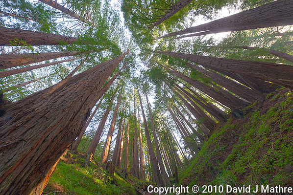Wide Angle Looking up from a Coastal Redwood Forest. Image taken with a Nikon D3x and 14-24 mm f/2.8 lens (ISO 100, 14 mm, f/16, 2.5 sec). Raw image converted using Adobe Camera Raw 6.2 (landscape and used lens correction). HDR of 5 images (+2, +1, 0, -1, -2 EV) using Photoshop CS5 HDR Pro (default). (David J Mathre)