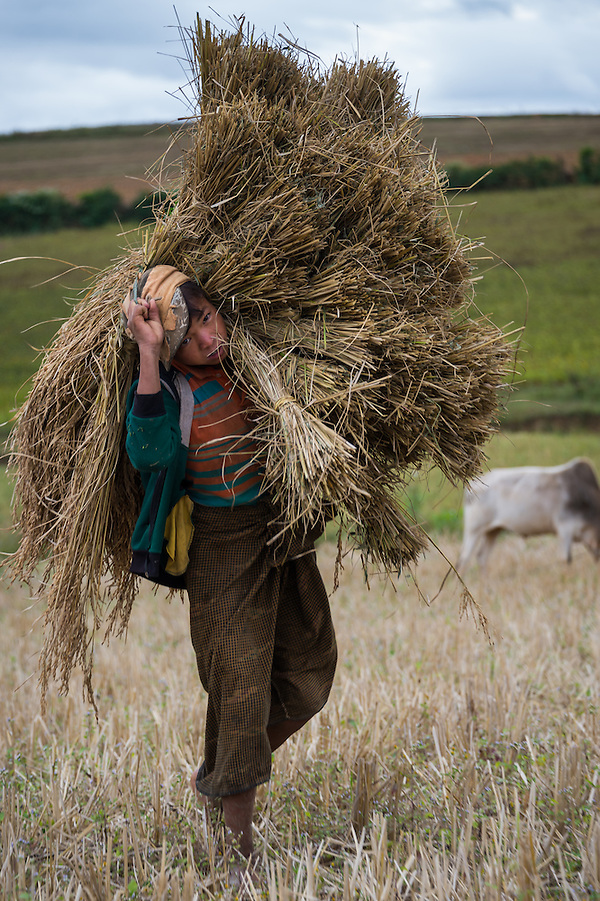 SHAN PROVINCE, MYANMAR - CIRCA DECEMBER 2013: Young farmer carrying harvested sticky rice in the countryside. (Daniel Korzeniewski)
