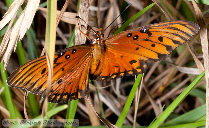 A gulf fritillary [Agraulis vanillae incarnata] stands amongst blades of lemongrass [Cymbopogon sp.] with its wings outstretched, showing off its bright orange colors. The bottom of its wings have silver spots on them, not visible in this picture. (Marc Perkins)