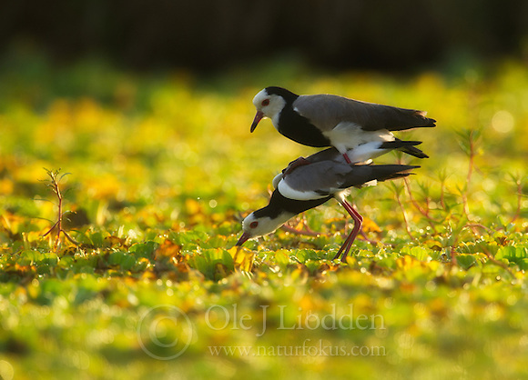 Long-toed Lapwing (Vanellus crassirostris) (Ole Jørgen Liodden)