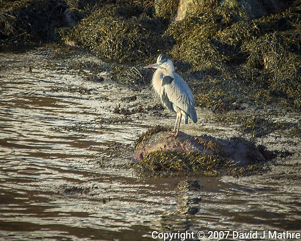 Grey Heron in Torvik, Norway. Image taken with a Nikon D2xs camera and 80-400 mm VR lens (ISO 200, 400 mm, f/6.7, 1/180 sec). (David J Mathre)