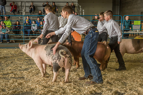 4-H handlers show their pigs at the Alaska State Fair in Palmer, Alaska (Clark James Mishler)