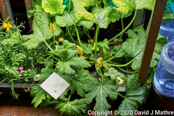 AeroGarden Farm 05-Right. Zucchini Plants (79 days). Image taken with a Leica TL-2 camera and 35 mm f/1.4 lens (ISO 400, 35 mm, f/8, 1/30 sec). (DAVID J MATHRE)