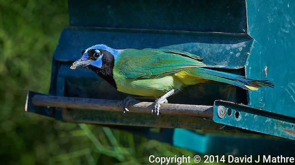 Green Jay on a Blue Green Feeder. Dos Venadas Ranch in Southern Texas. Image taken with a Nikon D4 camera and 500 mm f/4 VR lens (ISO 500, 500 mm, f/5.6, 1/1000 sec). (David J Mathre)