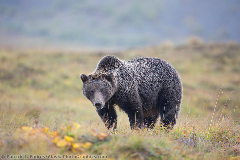 Grizzly bear on the tundra, Denali National Park, Alaska. (Patrick J Endres / AlaskaPhotoGraphics.com)