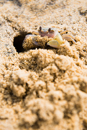Photo of a crab on Negombo Beach, West Coast, Sri Lanka, Asia