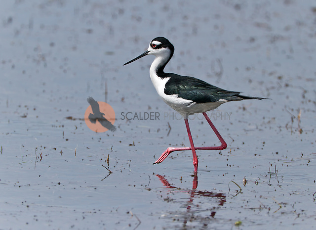 Black-necked Stilt standing in water with one foot up (Sandra Calderbank, sandra calderbank)