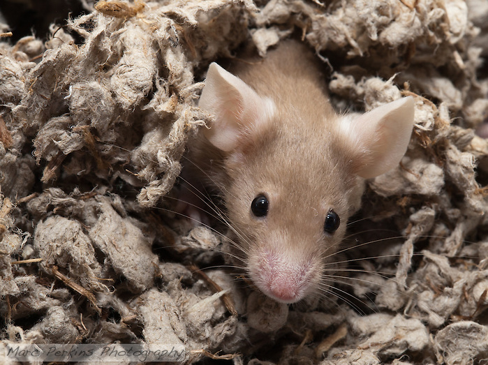 """A tan female mouse pops her head out of the bedding (""""Oh hai!""""), in a behavior anyone who's had pet mice will recognize.  The mouse has just finished burrowing herself under the bedding and crawling underneath it a short ways, before popping her head up to scout her new surroundings. (Marc C. Perkins)"""