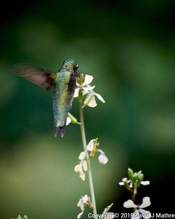 Hummingbird. Image taken with a Nikon 1 V3 camera and 70-300 mm VR lens (DAVID J MATHRE)