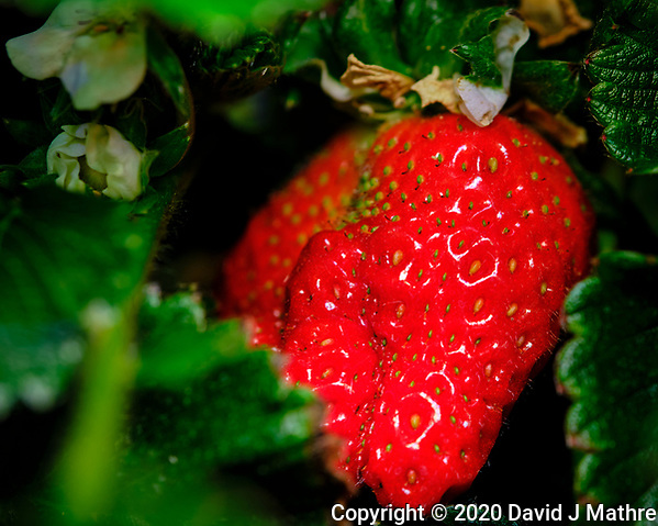 AeroGarden Farm 07-Right. Strawberry. Image taken with a Fuji X-T3 camera and 80 mm f/2.8 macro lens (ISO 200, 80 mm, f/11, 1/60 sec) (DAVID J MATHRE)