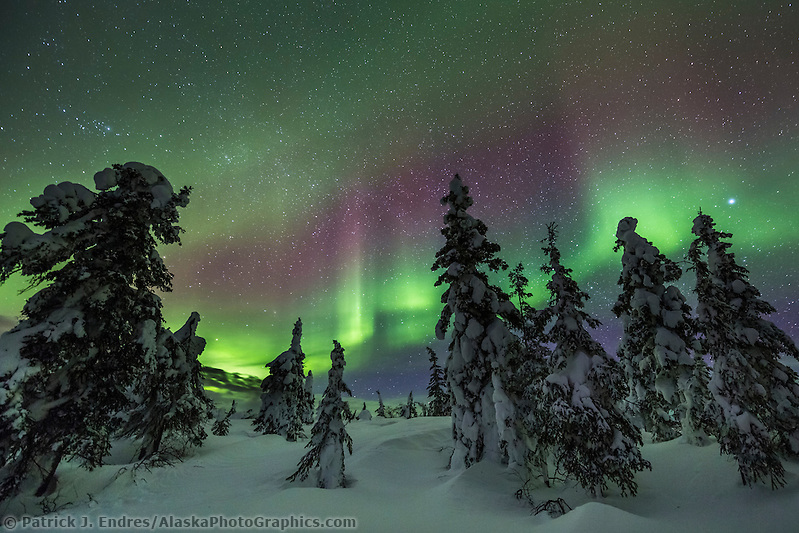 Then northern lights twist and turn over a snow covered boreal forest of spruce trees during a March display in Alaska's interior. (Patrick J Endres / AlaskaPhotoGraphics.com)