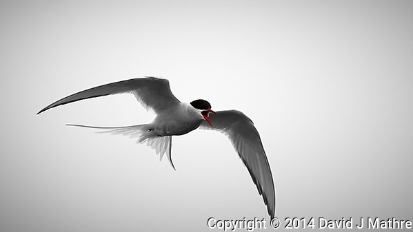 Arctic Tern Ready to Attack in Isafjordur, Iceland. Image taken with a Nikon Df camera and 300 mm f/2.8 VR lens (ISO 100, 300 mm, f/4, 1/2500 sec). Raw image processes with Capture One Pro, Focus Magic, and Photoshop CC. (David J Mathre)