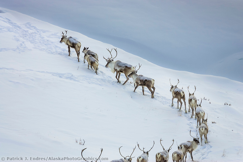 Caribou migrate through the Brooks Range mountains in Alaska's Arctic. (Patrick J. Endres / AlaskaPhotoGraphics.com)