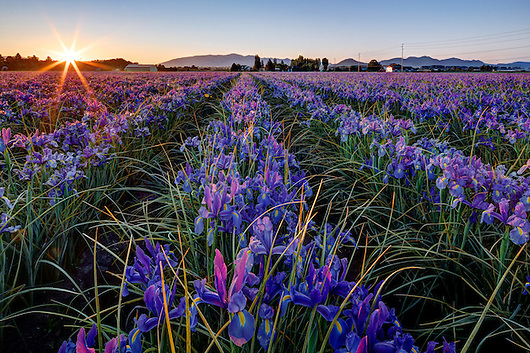 Dawn breaks over a field of blue irises, Mount Vernon, Skagit Valley, Skagit County, Washington, USA (Copyright Brad Mitchell Photography.9601 Wall St.Snohomish, WA 98296.USA.425-418-7279.brad@bradmitchellphoto.com)