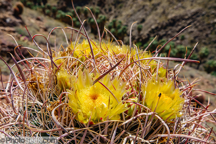 Barrel cactus with yellow flowers on the Victor Trail. We hiked the Palm Canyon Trail to Indian Potrero Trail to Stone Pools, and looped back via Victor Trail, in the Indian Canyons, Palm Springs, California, USA. The beautiful Palm Canyon Trail takes you through the world's largest California Fan Palm oasis. The Indian Canyons are the ancestral home of the Agua Caliente Band of Cahuilla Indians. (© Tom Dempsey / PhotoSeek.com)