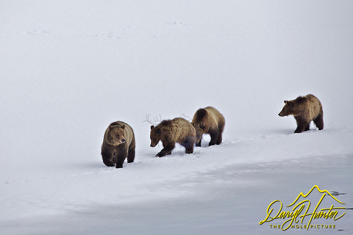 "Grizzly 610 and cubs, Grand Teton National Park (© Daryl Hunter's ""The Hole Picture""/Daryl L. Hunter)"