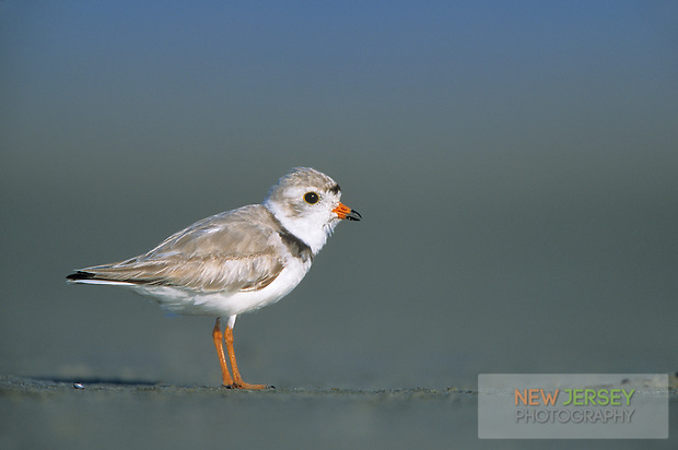 Piping Plover, Stone Harbor, New Jersey (Steve Greer / SteveGreerPhotography.com)